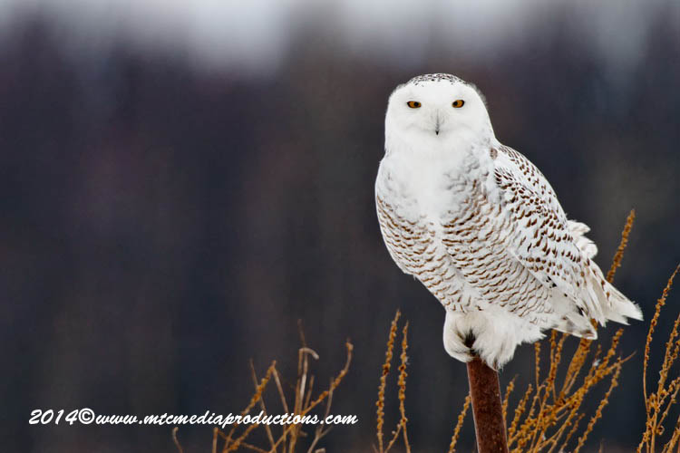 Snowy Owl Picture-68