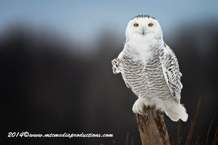 Snowy Owl Picture-69