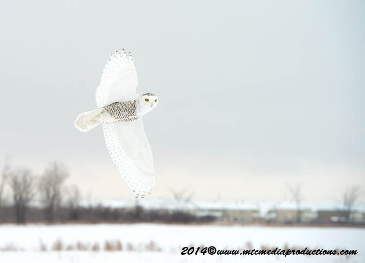 Snowy Owl Picture-07