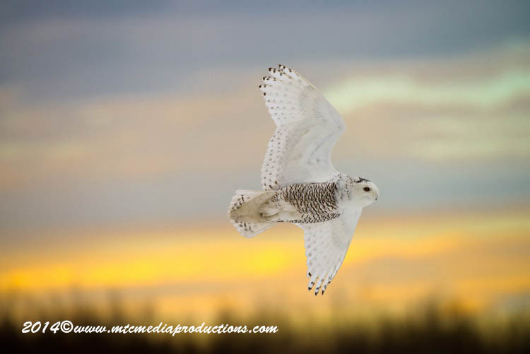 Snowy Owl Picture-71