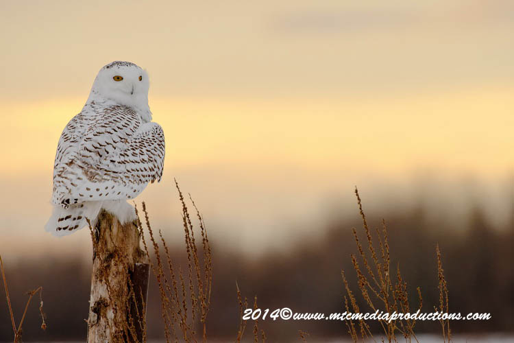 Snowy Owl Picture-72