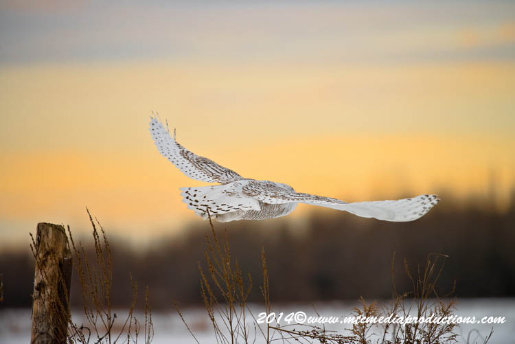 Snowy Owl Picture-73