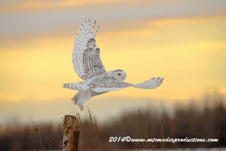 Snowy Owl Picture-74