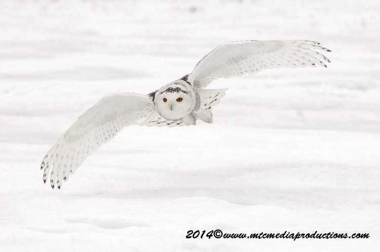 Snowy Owl Picture-75