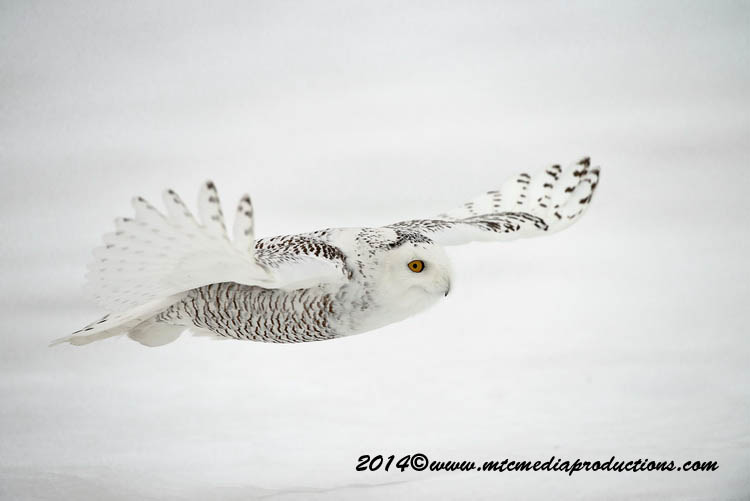 Snowy Owl Picture-76
