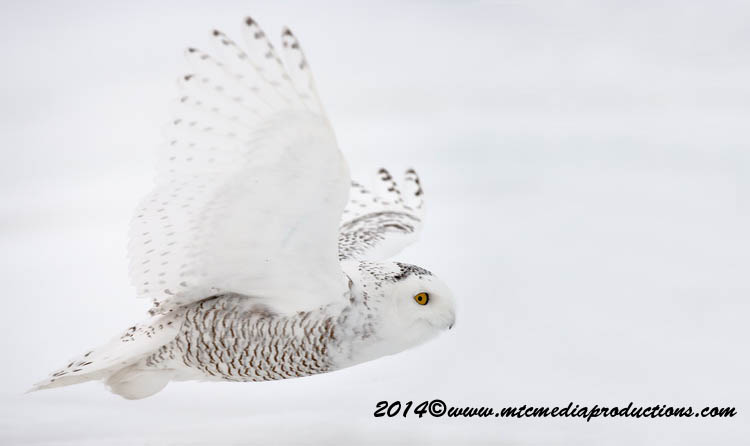 Snowy Owl Picture-77