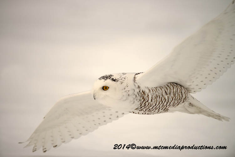 Snowy Owl Picture-78