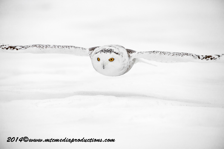 Snowy Owl Picture-79