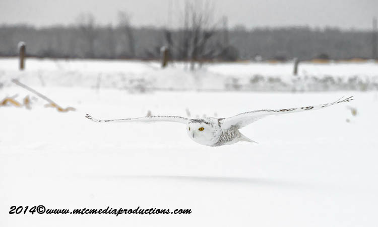 Snowy Owl Picture-08