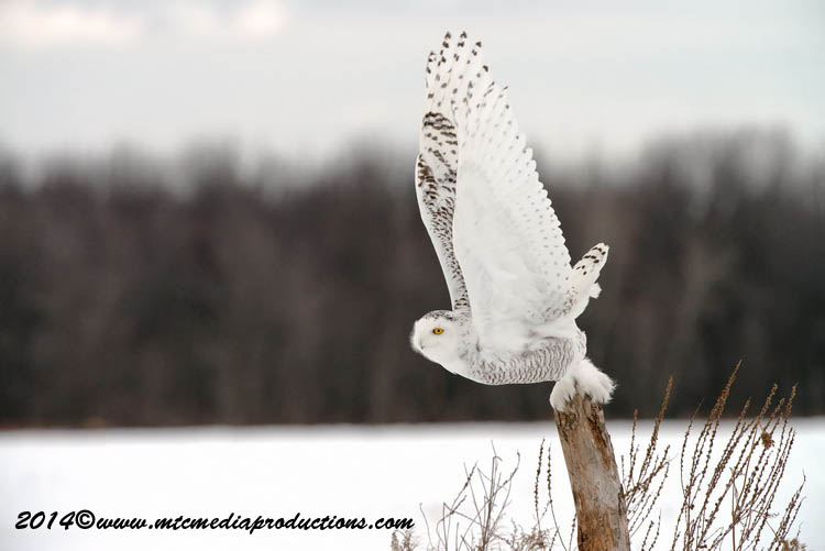 Snowy Owl Picture-80