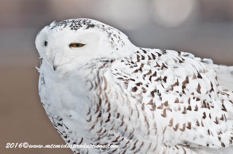 Snowy Owl Picture