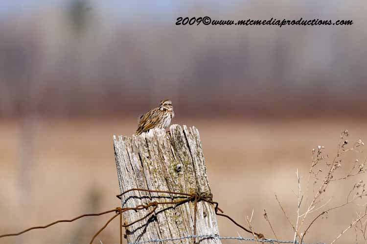 Song Sparrow Picture-00