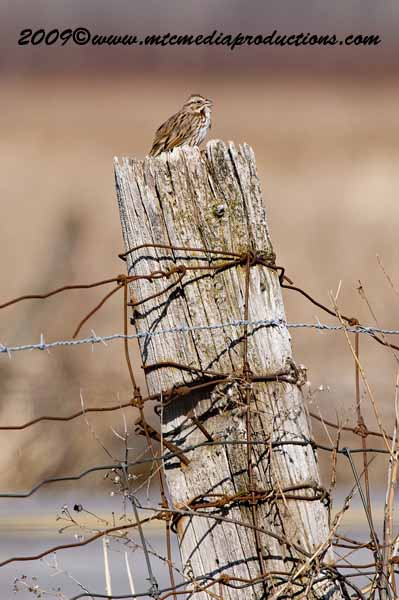 Song Sparrow Picture-01