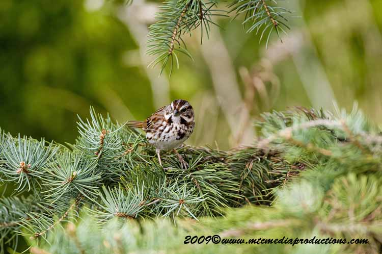 Song Sparrow Picture-10