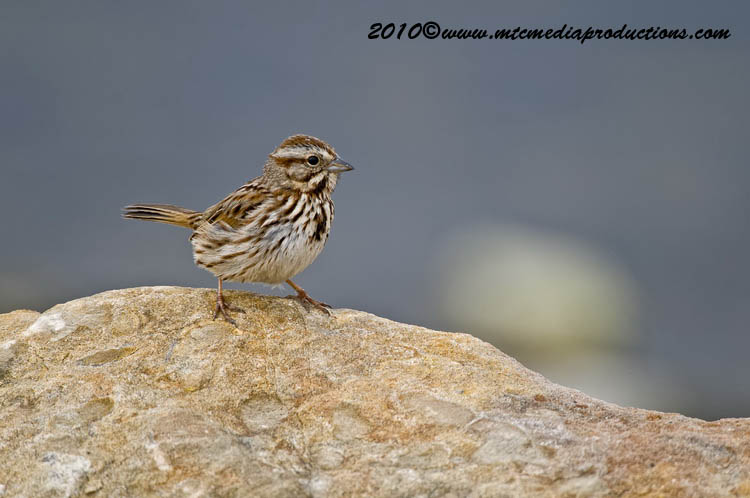 Song Sparrow Picture-100