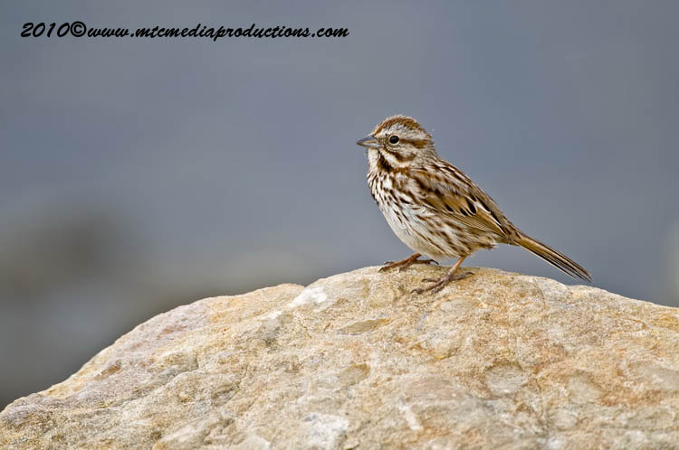 Song Sparrow Picture-101