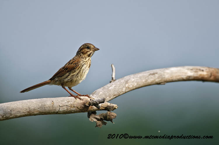 Song Sparrow Picture-102