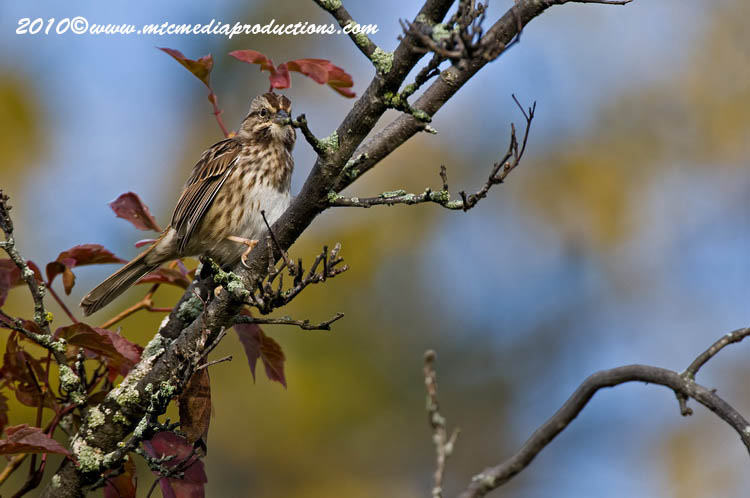 Song Sparrow Picture-105