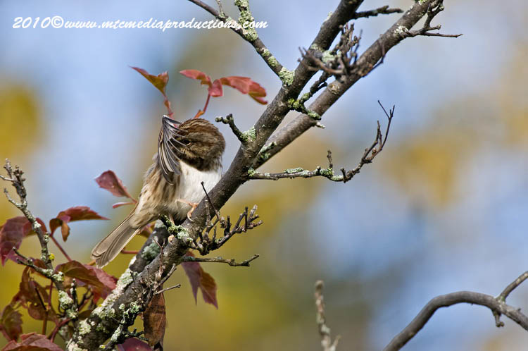 Song Sparrow Picture-106
