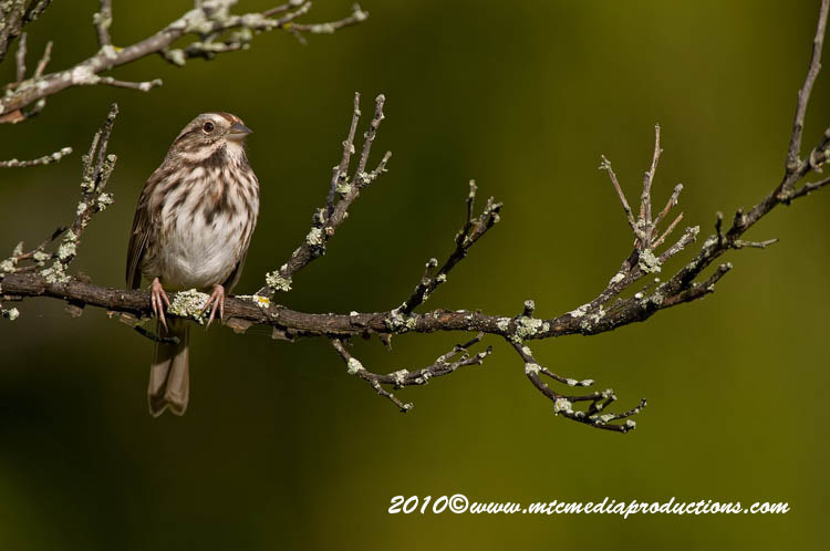 Song Sparrow Picture-108