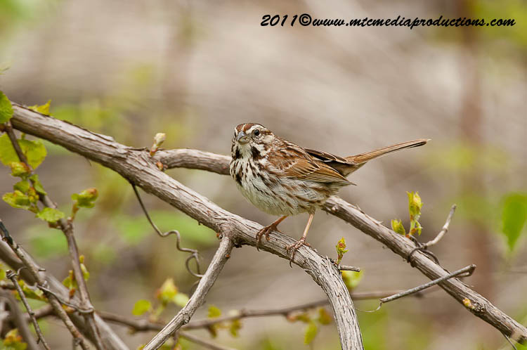 Song Sparrow Picture-109