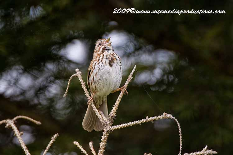 Song Sparrow Picture-11