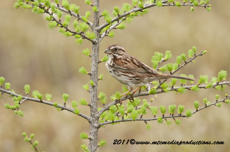 Song Sparrow Picture-110