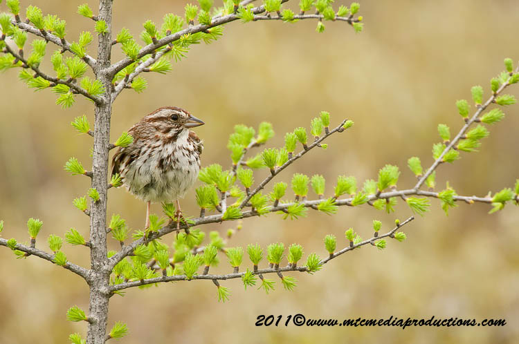 Song Sparrow Picture-111