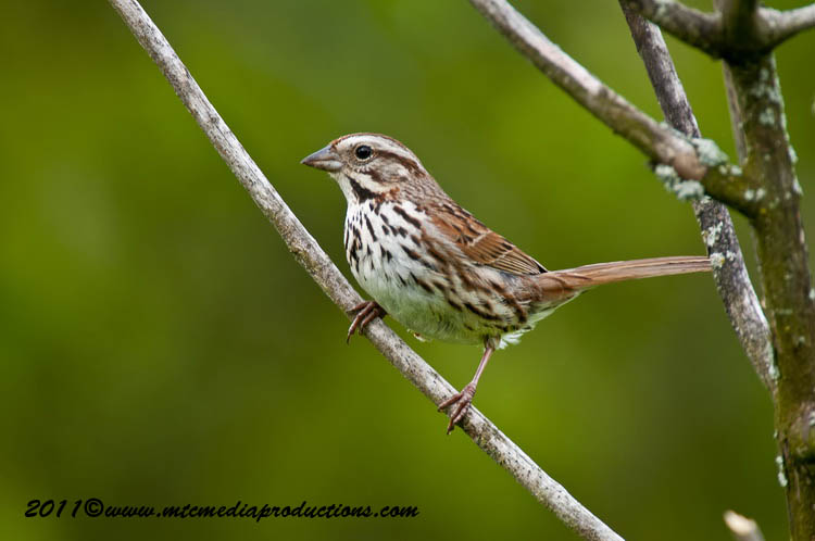 Song Sparrow Picture-112