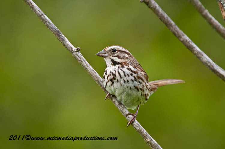 Song Sparrow Picture-113