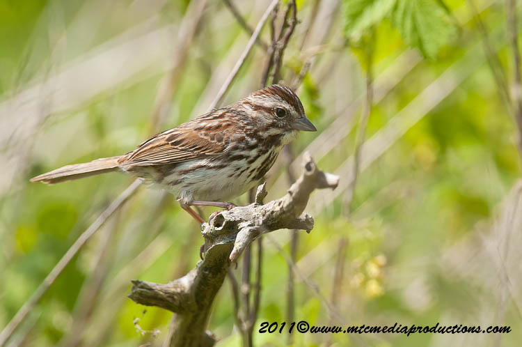 Song Sparrow Picture-114