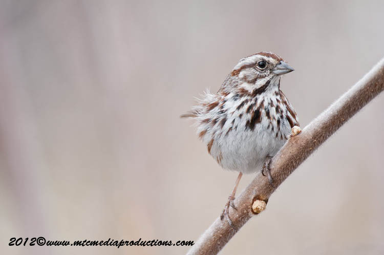 Song Sparrow Picture-115