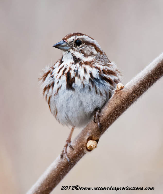 Song Sparrow Picture-116