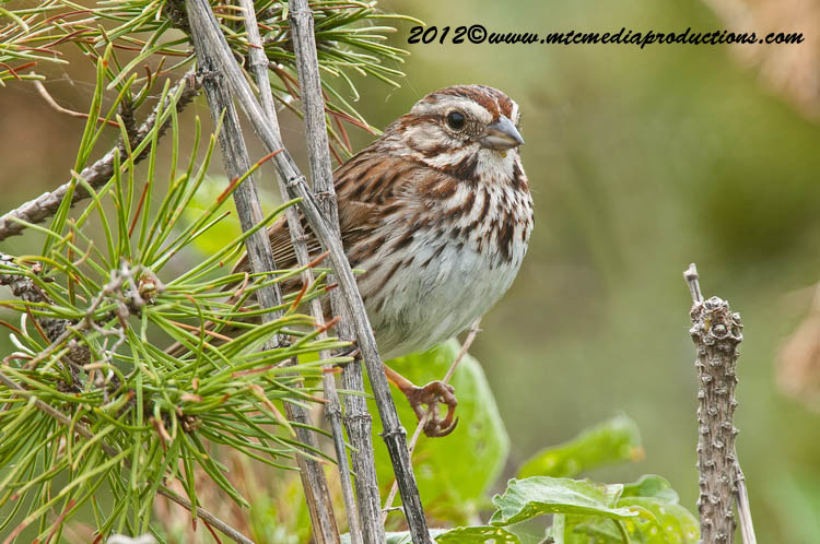 Song Sparrow Picture-117