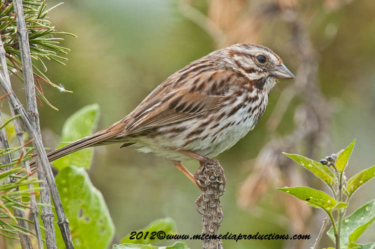 Song Sparrow Picture-118