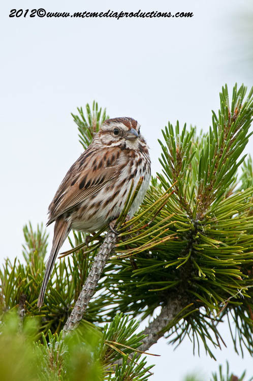 Song Sparrow Picture-119