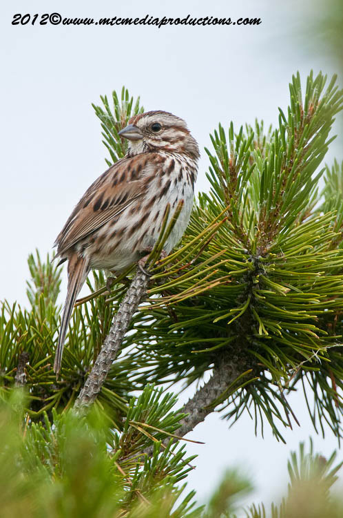 Song Sparrow Picture-120