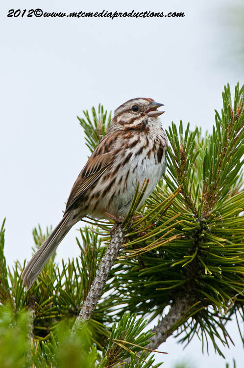 Song Sparrow Picture-121