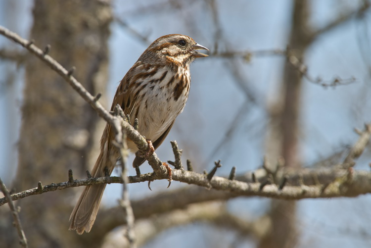 Song Sparrow Picture-122