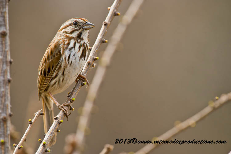Song Sparrow Picture-123
