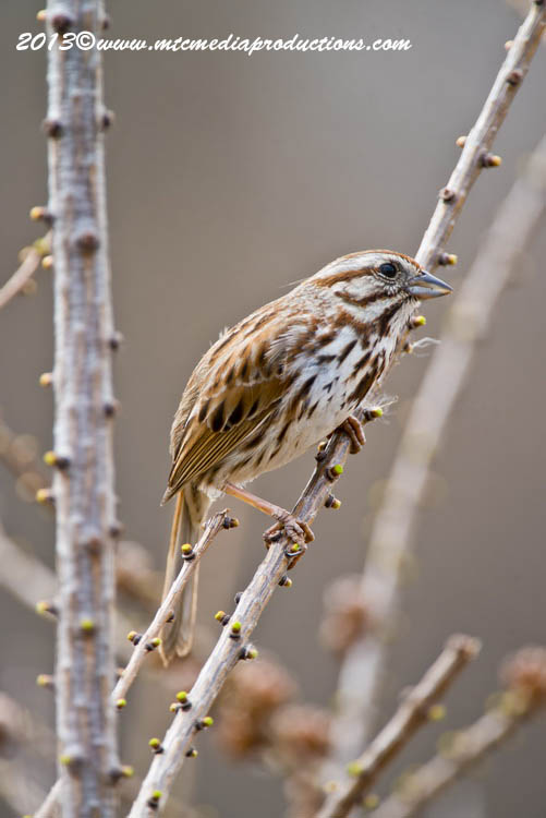 Song Sparrow Picture-124