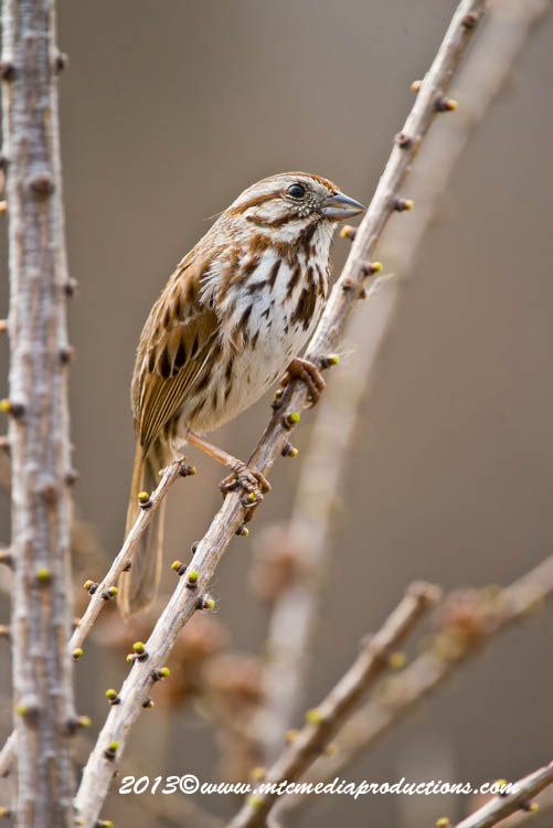 Song Sparrow Picture-125