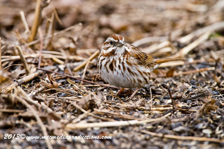 Song Sparrow Picture-126