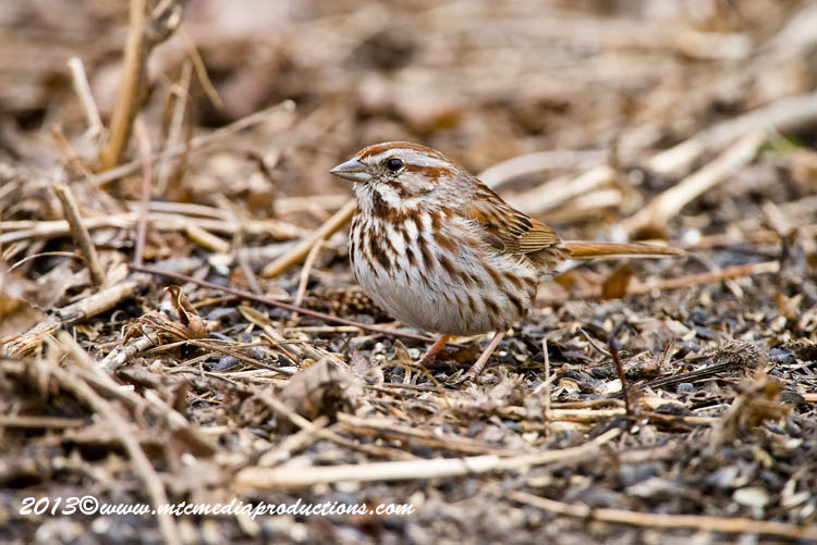 Song Sparrow Picture-127