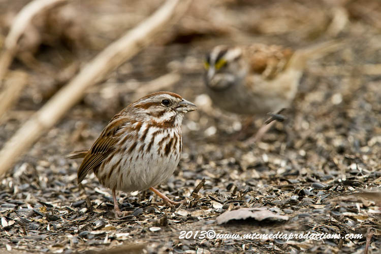 Song Sparrow Picture-128