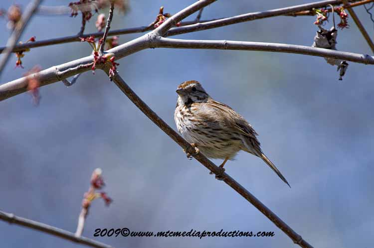 Song Sparrow Picture-13