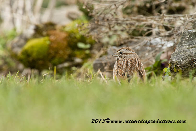 Song Sparrow Picture-130