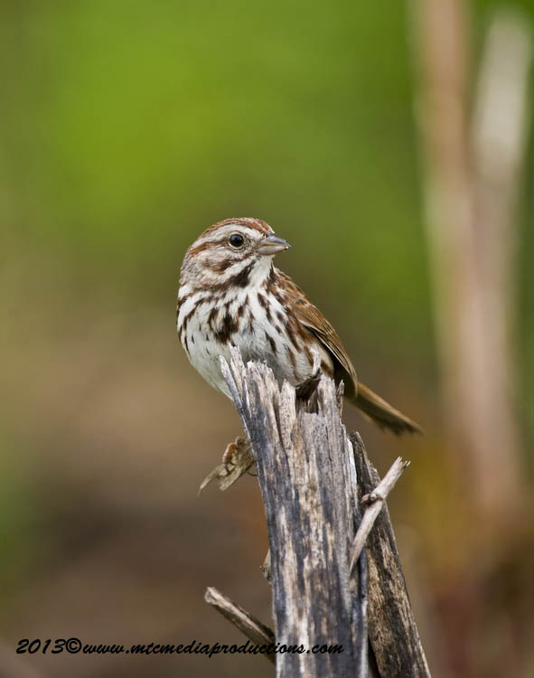 Song Sparrow Picture-131