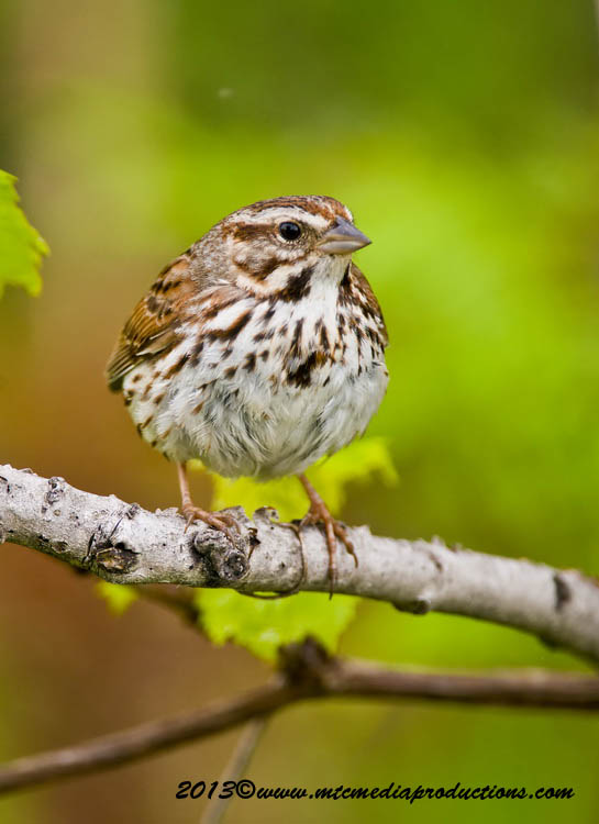 Song Sparrow Picture-132