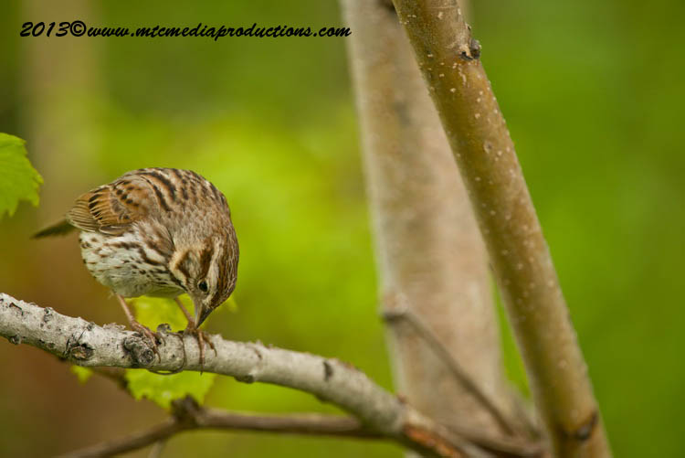 Song Sparrow Picture-133